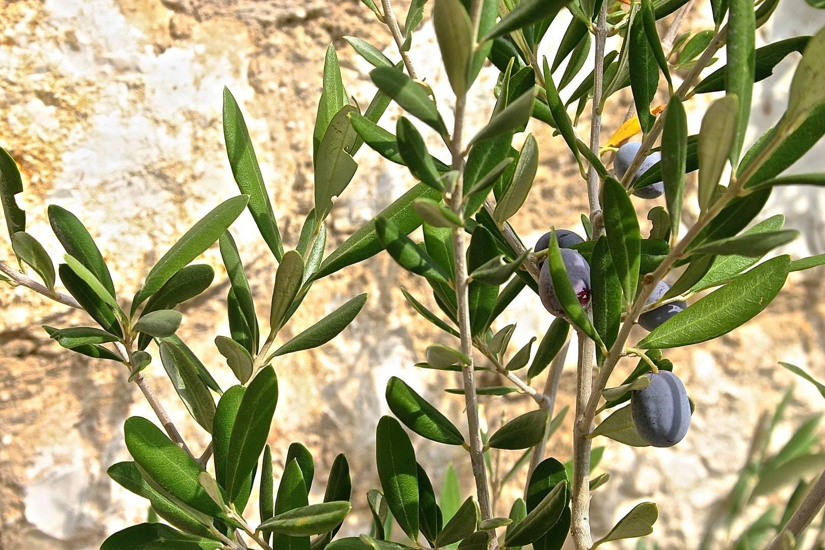 Potatura Olivi